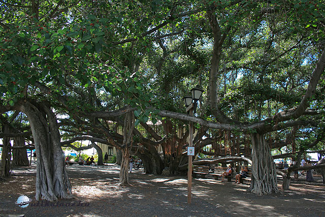 Banyan Tree Park Hawaii
