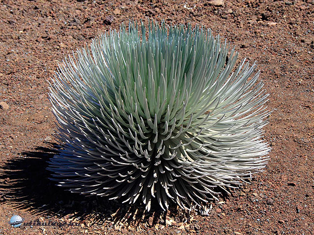 Silversword Hawaii
