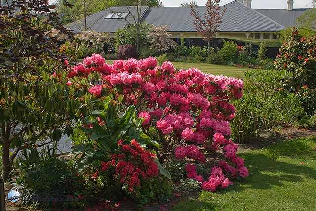Christchurch, Mona Vale, Rhodonendron