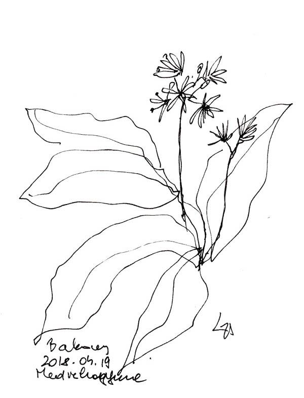 Bakony - medvehagymamező - Amikor virágzik a medvehagyma, már nem ehető