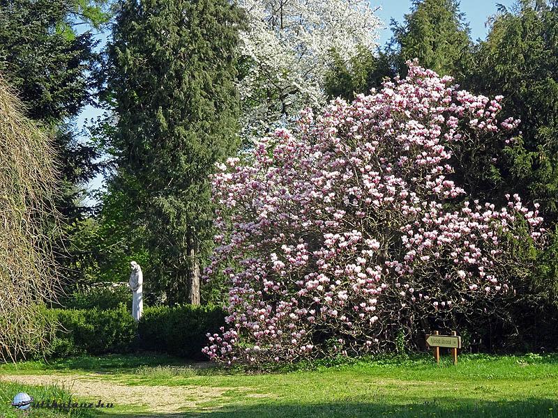 Zirc, Arborétum - A bejárathoz közel egy hatalmas magnólia bokor virágzott