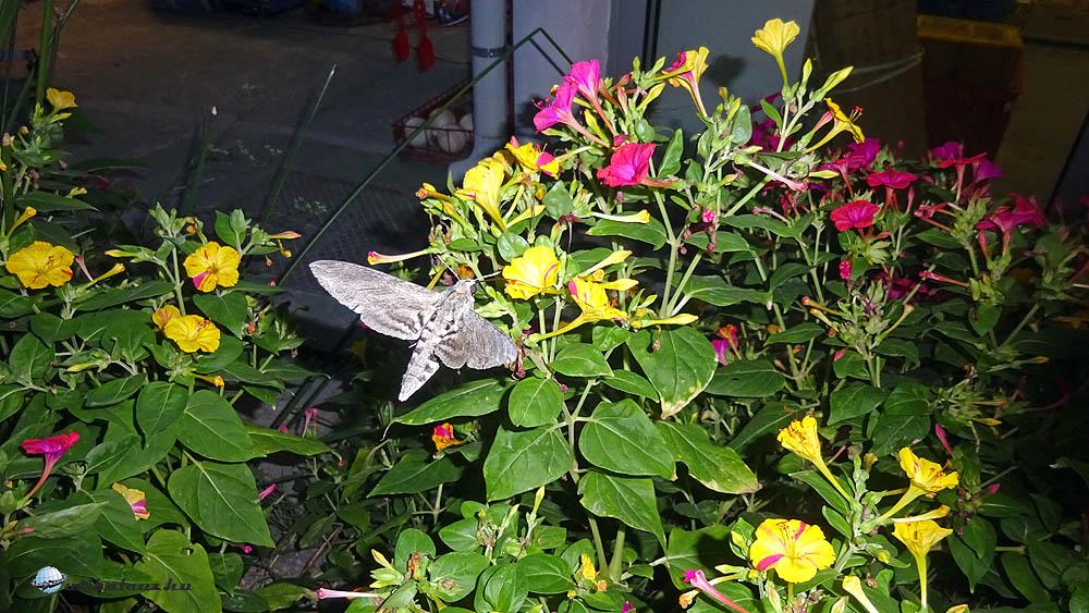 Mintha kolibri lenne, egy helyben képes sűrű szárnycsapással megállni